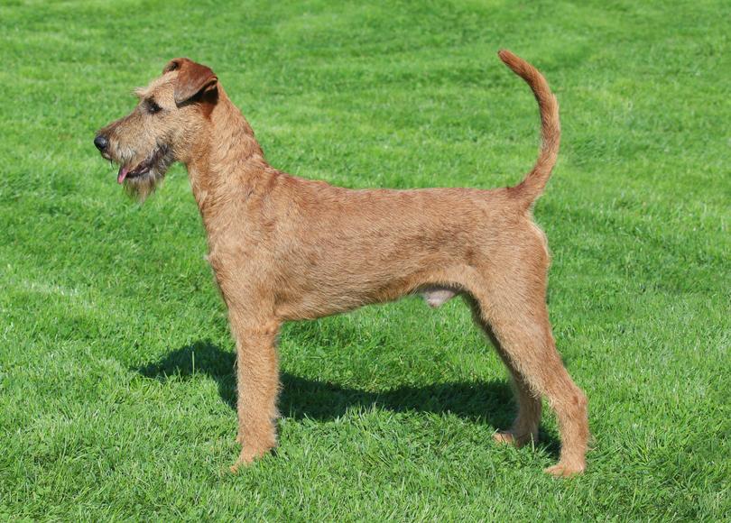 Irish terrier - Blog size.png