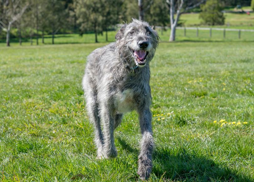 Irish wolfhound - blog size.png