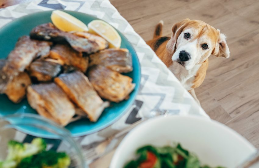 can dogs have salmon