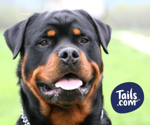 Type of dog-Rottweiler