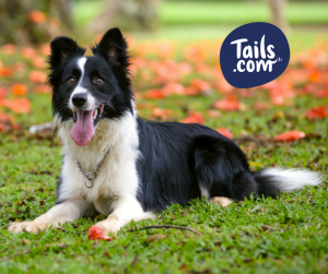 Type of dog-Pastoral-collie