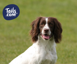Type of dog-Gundog-Spaniel