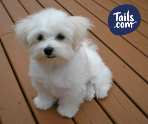 Type of dog-Toy dog-Maltese