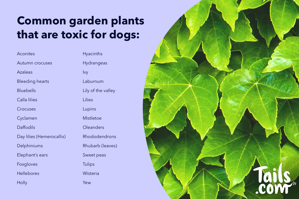 Which Plants Are Dangerous And Poisonous To Dogs The Inside Scoop