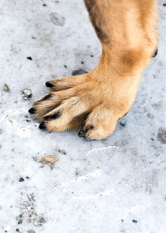 Protect your dog's paws in the snow