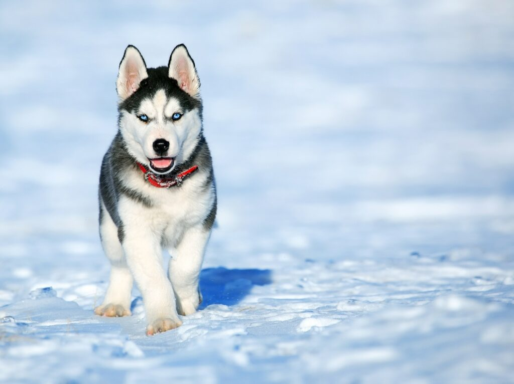 Safe temperature to walk your dog in the snow